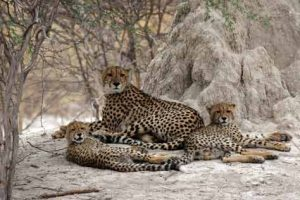 Geparden, fotografiert auf Safari in Botswana