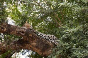 Leopard als Safarimotiv im Khutse Game Reserve