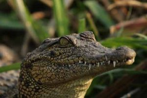Safari - Krokodile gehören zu den Fotomotiven