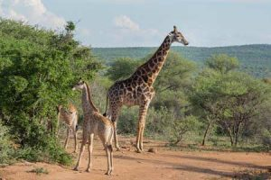 Giraffe auf Safari im Mokolodi Nature Reserve beobachten