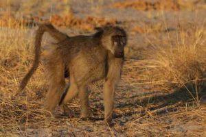Häufiges Bild: Ein Affe kreuzt den Weg
