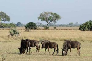 Botswana: Gnus in den Nationalparks