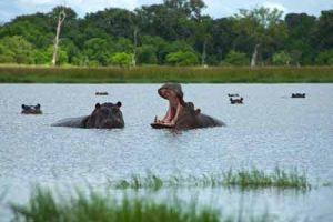 Flusspferde in der Regenzeit