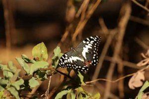 Ein besonderer Schmetterling im Okavango-Delta
