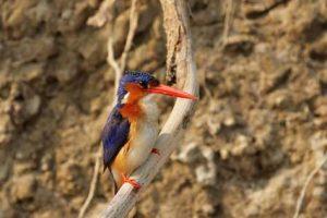 Motiv bei einer Vogel-Safari - der Malachiteisvogel