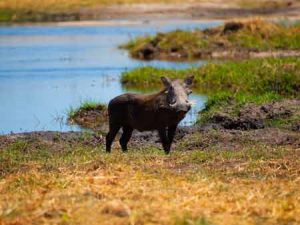 Ein weiteres typisches Safari-Motiv: das Warzenschwein