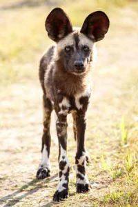 Typischer Wildhund im Nationalpark