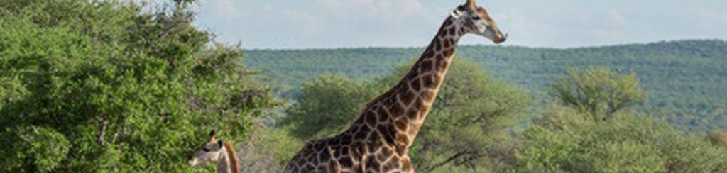 Kgalagadi-Transfrontier-Nationalpark mit Giraffen