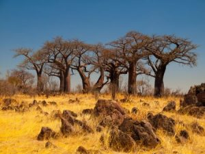 Affenbrotbaum im Landschaft in der Kalahari im Makgadikgadi-Pans-Nationalpark