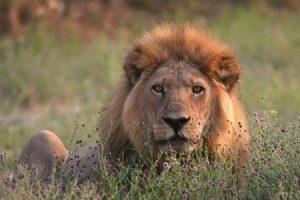 Im Nxai-Pan-Nationalpark gibt es Löwen