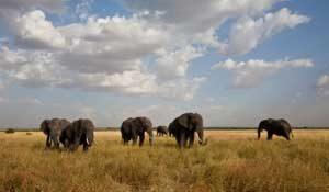 Elefanten ziehen durch den Nationalpark Serengeti