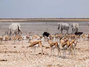 Elefanten und Antilopen an einem Wasserloch im Etosha Nationalpark