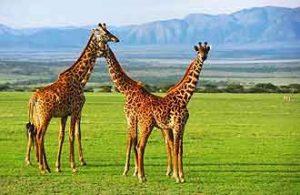 Giraffen im Ngorongoro Krater in Tansania