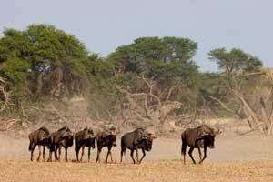 Gnus in der Kalahari