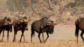 Halbwüste Kalahari