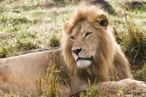 Löwen im Aberdare Nationalpark