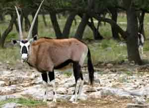 Eine Oryx Antilope im Amboseli Nationalpark in Kenia