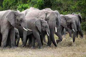 Elefanten in den Nationalparks von Kenia in freier Wildbahn beobachten