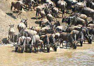 Bei der Great Migration wandern Zehntausende Gnus über den Fluss Mara