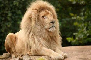 Löwen sehen - auf einer Rundreise durch Kenia