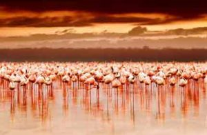 Kenia: Hunderttausende Flamingos am Lake Nakuru