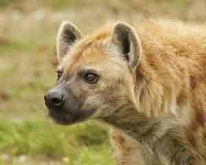 Die Hyäne ist ein typisches Raubtier im Lake Nakuru Nationalpark in Kenia