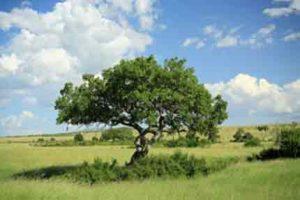 Der Leberwurstbaum in Kenias Masai Mara