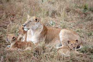 Löwen im Amboseli Nationalpark entdecken