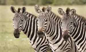 Zeras im Masai Mara Schutzgebiet in Kenia