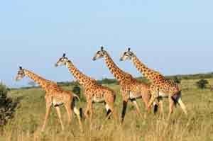 Im Meru Nationalpark leben unter anderem Giraffen