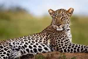 Im Mount Elgon Nationalpark leben Leoparden