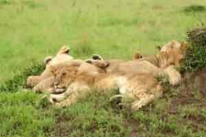 Junge Löwen im Nairobi Nationalpark