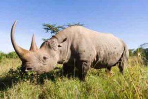 Kenia-Urlaub - Die Big Five auf einer Safari erleben: hier das Nashorn