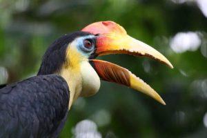 Heimisch im Kakamega Forest: der Nashornvogel