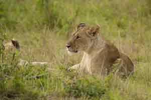 Löwen gehören zu den Big Five in Kanias Nationalparks