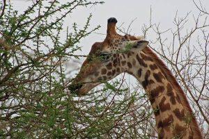 Kenia Reisetipps für sichere Safari