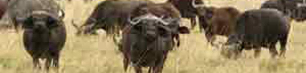 Büffel in den Shimba Hills