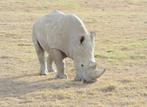 Nashörner - auf Safari in Kenias Westen