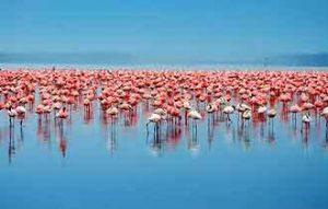Neben Nashörnern gibt es Hunderttausende von Flamingos am Lake Nakuru in kenia