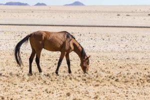 Pferd in einer afrikanischen Halbwüste in Namibia