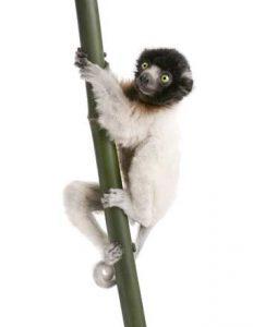 Madagaskar: Nur hier gibt es Lemuren