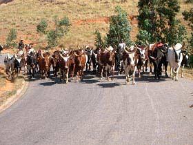 Überquerende Rinderherden sind alltäglich auf den Straßen Madagaskars