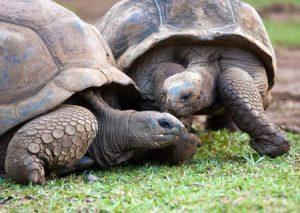 Mauritius: Schildkröten zu bewundern