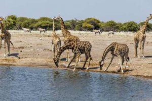 Nationalpark in Namibia: Giraffen an einem Wasserloch