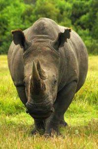 Nashorn im Kruger Nationalpark in Südafrika