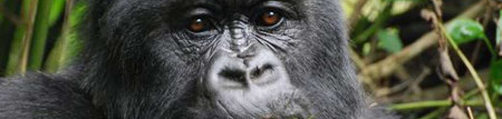 Ruanda: Berggorillas