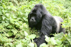 Ruandas Naturschatz: Berggorillas