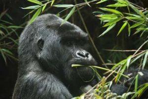in Drittel aller Berggorillas lebnen in Ruanda