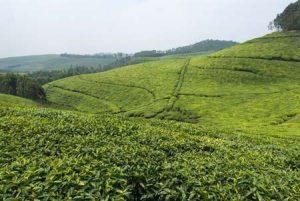 Ruanda: Hügel bieten gute Möglichkeiten zum Teeanbau