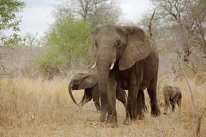 Safari im Kruger Park in Südafrika